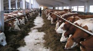 Büyükbaş Besi Hayvan Çiftliği Kurma Proje Örnekleri