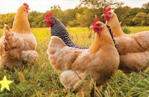 300 500 Tavuk Aylık Kaç Para Kazandırır? Maliyet Hesaplama
